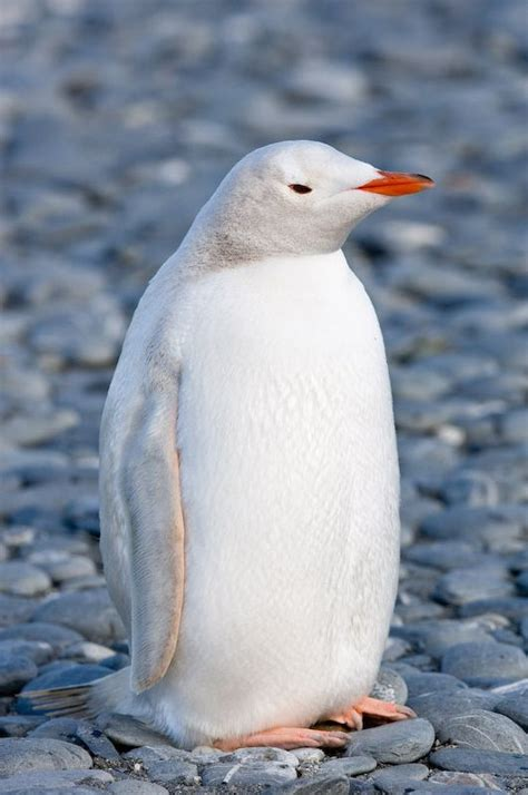 White Pinguin by All White Penguin