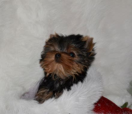 yorkie puppies for sale calgary tiny shorkie puppies in calgary alberta for sale breeds picture