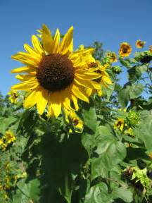 sunflowers an essential part of every therapeutic garden design for generations