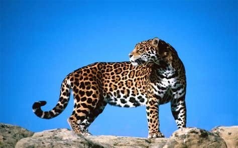 imagenes de jaguares kawaii fonditos jaguar animales jaguares mascotas felinos