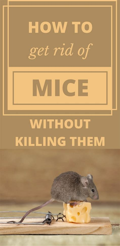 how to get rid of mice in your backyard 1047 best house cleaning images on pinterest cleaning