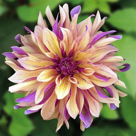 25 best ideas about dahlia flower tattoos on pinterest