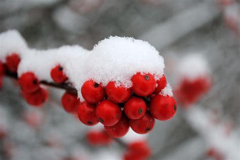file ca winter berries 5352294763 jpg