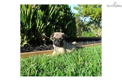 pug puppy san diego pug puppy for sale near san diego california 7171a1e4 7451