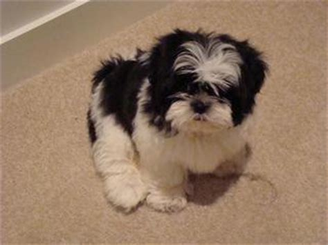 shih tzu puppies for sale melbourne for sale purebred shih tzu black white puppy