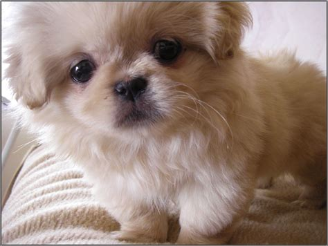 puppies that don t shed small breeds that don t shed idea breeds puppies small breeds that don t