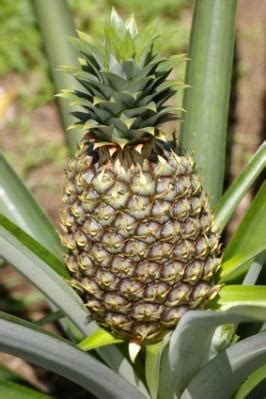 grow  pineapple lovetoknow