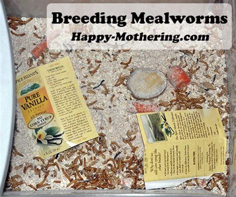 25 best ideas about meal worms for chickens on pinterest