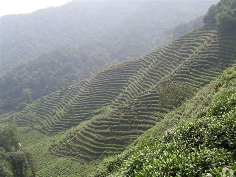 Teh Longjing the well tea fields hangzhou china world for