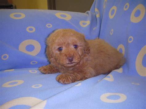 puppy town puppy town choco sold