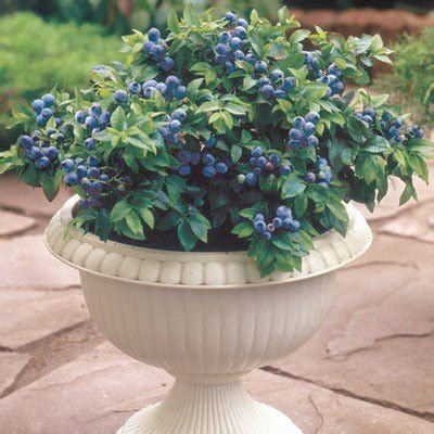 pianta di mirtillo in vaso top hat blueberry direct gardening