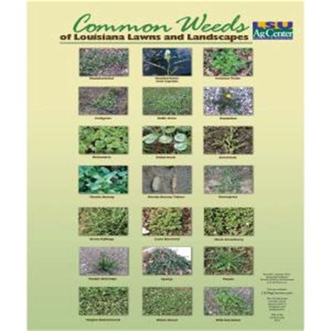 common weeds of louisiana lawns and landscapes