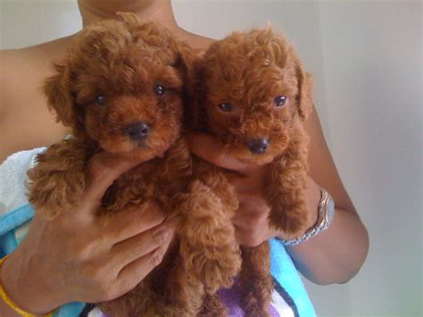 brown teddy puppies for sale cylos adpost
