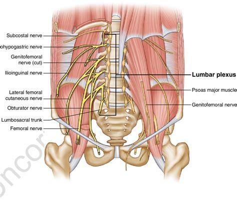 4 anatomy of the lumbar plexus image by springer scientific diagram