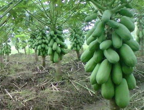 Bibit Buah Pepaya California panduan menanam buah pepaya california agar sukses dasar
