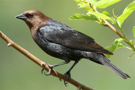 brown headed cowbird coniferous forest