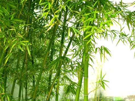 bamboo tree wallpapers hd free wallpaper