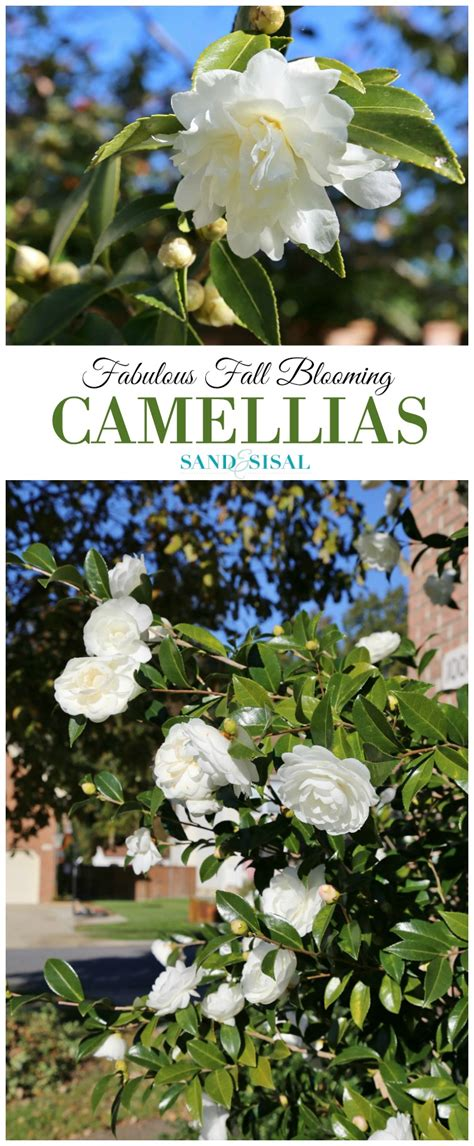 fabulous fall blooming camellias sand and sisal