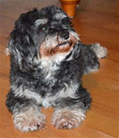 havanese rescue nj 1000 images about havanese rescue dogs on adoption rescue dogs and theater