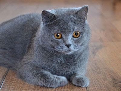 british shorthair information, characteristics, facts, names