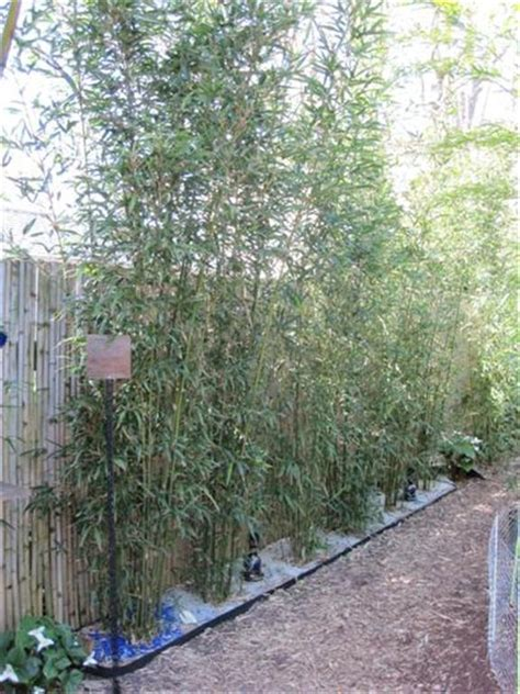 root barrier six 5 gallon size containers of bamboo were planted