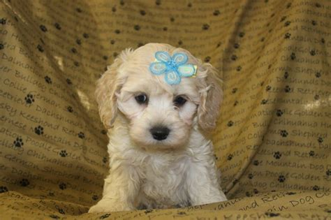 maltipoo puppies for sale in nj 25 best ideas about maltipoo puppies for sale on