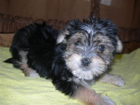 tri color yorkie pictures image gallery morkie