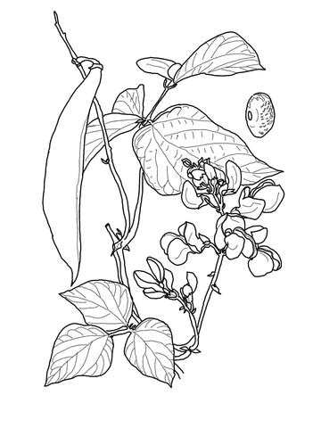 Runner Bean coloring page   Free Printable Coloring Pages