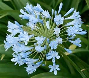aquamarine dreams march s favorite flower color