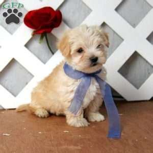 goldies yorkies yorkie poo puppies for sale from loving breeders greenfield puppies