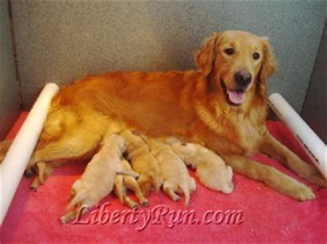 how much money is a golden retriever puppy the liberty run waiting list policy