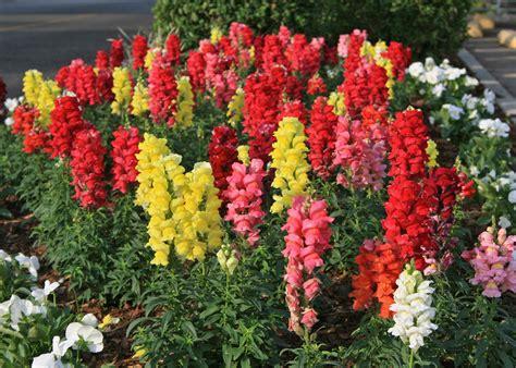 Snapdragons Meet Winter Challenges Mississippi State Winter Flower Garden