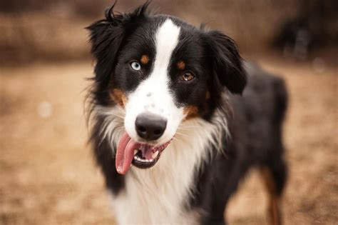 aussie breed australian shepherd breed information