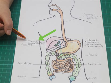Benefit 10 So Simple A Cavewoman Could Use It by How To Draw A Model Of The Digestive System With Pictures