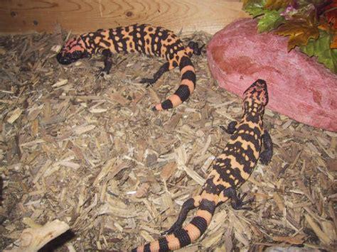 beaded lizard for sale kingsnake herpforum gt venomous forums gt gila