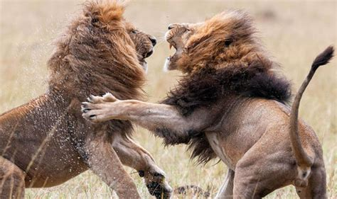 Find Tweets Between Two Pictures Vicious Battle Between Two Lions Nature News Express Co Uk