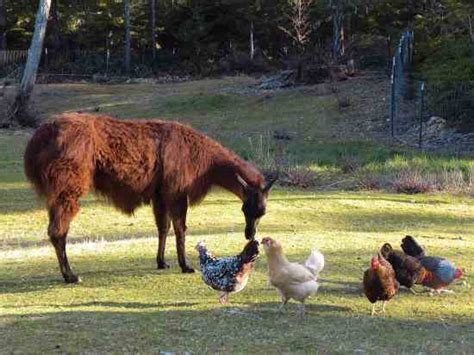 sheep swine and poultry embracing the history and varieties of each the best modes of their feeding and management together with the remedies for each classic reprint books guard llama protects poultry modern homesteading