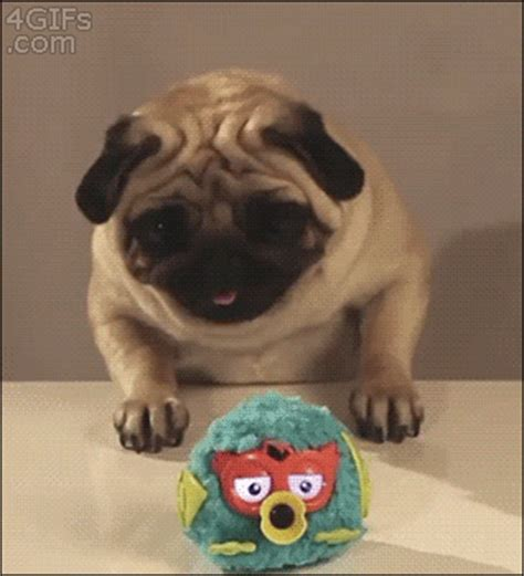 why are pugs so 26 reasons why pugs are so much cooler than beyonce was