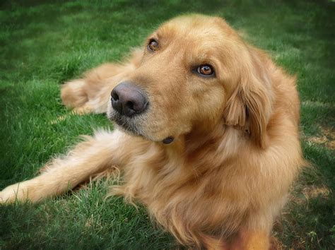 golden retriever age in human years faith in your self human rp members