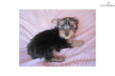 puppy microchip cost meet a silky terrier puppy for sale for 450 aca silky terrier puppy