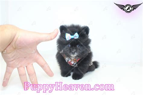 teacup pomeranian los angeles zoro teacup pomeranian puppy in los angeles found a new loving home with darren from