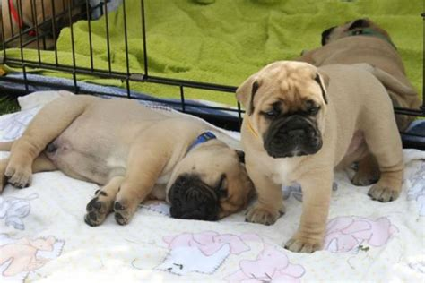 bull mastiff puppies for sale bull mastiff puppies for sale bazar