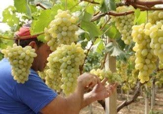 vivai uva da tavola uva da tavola verso il congresso nazionale agronotizie