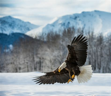 bald eagles  pa thesettlersinn