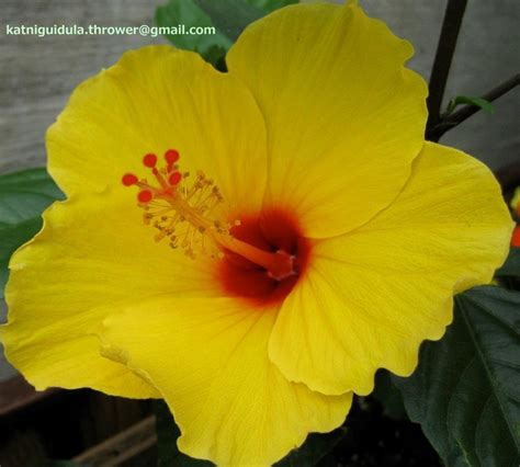 yellow hibiscus state flower of hawaii http wp me p1gkzp yellow hibiscus hawaii s state flower flower plants