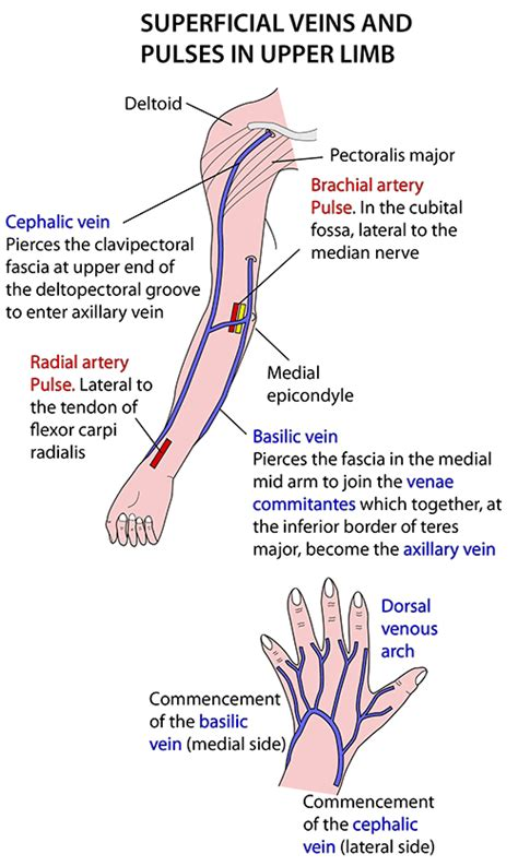 arm veins diagram arm vein anatomy instant anatomy limb vessels veins