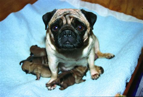 how many puppies can a pug births leaving it to the experts dogslife breeds magazine
