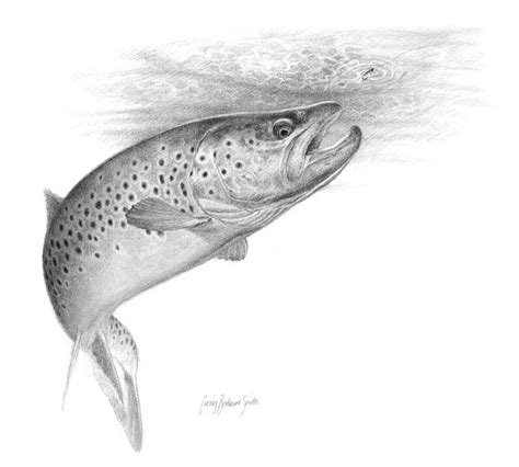 brown trout rising global flyfisher