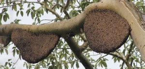 Madu Amfoang amfoangjaya madu hutan dari pulau timor