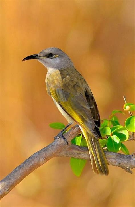 930 best images about birds meliphagidae honeyeaters